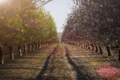 在绽放的杏仁树 图库摄影