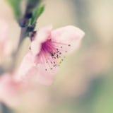 在绽放的桃子 免版税库存照片