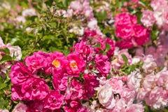 在绽放的桃红色上升的玫瑰丛 免版税库存照片