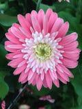在绽放的桃红色大丁草garvinea花 图库摄影