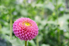 在绽放的桃红色大丽花在庭院里 免版税库存照片