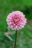 在绽放的桃红色大丽花在庭院里 库存图片