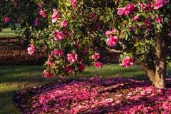 在绽放的桃红色山茶花灌木 库存照片