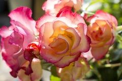在绽放的桃红色庭院玫瑰 库存照片