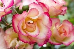 在绽放的桃红色庭院玫瑰 免版税库存图片