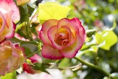 在绽放的桃红色庭院玫瑰 图库摄影