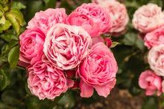 在绽放的桃红色杂种玫瑰 图库摄影