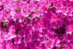 在绽放的桃红色杜娟花花 免版税库存照片