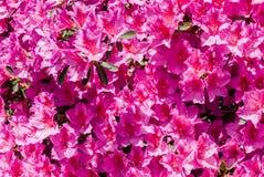 在绽放的桃红色杜鹃花杜娟花花 免版税库存照片