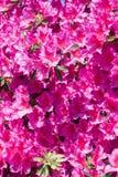 在绽放的桃红色杜鹃花杜娟花花 图库摄影