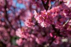 在绽放的桃红色花在桃红色海  库存照片
