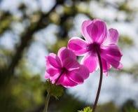 在绽放的桃红色鸦片银莲花属在春天 免版税库存照片