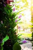 在绽放的桃红色紫色bromeliad花春天 库存照片