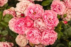 在绽放的桃红色floribunda玫瑰 库存照片