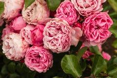 在绽放的桃红色polyantha玫瑰 免版税库存图片