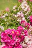 在绽放的桃红色polyantha玫瑰 免版税图库摄影