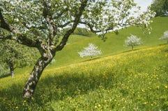在绽放的樱桃树在一个绿色领域 库存照片