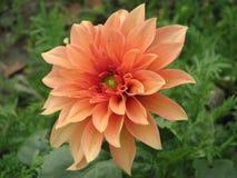 在绽放的淡桔色的花 免版税库存照片
