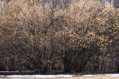 在绽放的淡褐灌木 图库摄影