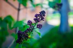 在绽放的淡紫色花在绿色背景 免版税图库摄影