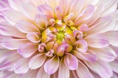 在绽放的特写镜头桃红色大丽花在庭院里 免版税库存图片