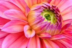 在绽放的特写镜头桃红色大丽花 图库摄影