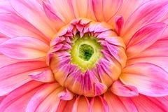 在绽放的特写镜头桃红色大丽花 免版税库存照片