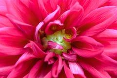 在绽放的特写镜头红色大丽花在庭院里 免版税图库摄影
