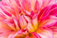 在绽放的特写镜头红色大丽花在庭院里 库存图片