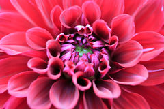 在绽放的特写镜头红色大丽花 免版税库存图片