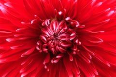 在绽放的特写镜头红色大丽花 库存照片