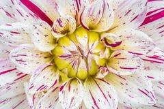 在绽放的特写镜头红色白色大丽花在庭院里 库存图片