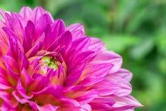 在绽放的特写镜头紫罗兰色大丽花在庭院里 库存图片
