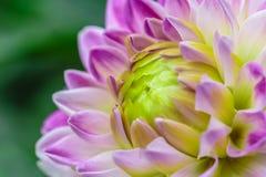 在绽放的特写镜头紫罗兰色大丽花在庭院里 库存照片