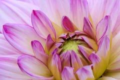 在绽放的特写镜头紫罗兰色大丽花 免版税库存照片