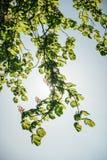 在绽放的由后面照的开花的栗树分支 免版税库存照片