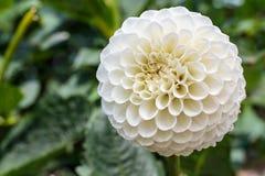 在绽放的白色大丽花在庭院里 免版税库存照片