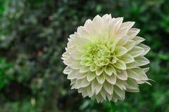 在绽放的白色大丽花在庭院里 免版税图库摄影