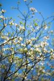 在绽放的白色开花的山茱萸树在蓝天 免版税库存照片