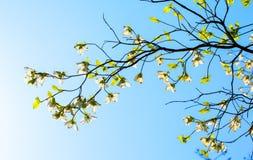 在绽放的白色开花的山茱萸树在蓝天 免版税库存图片