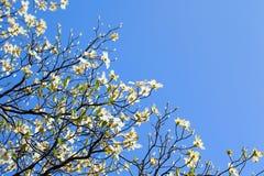在绽放的白色开花的山茱萸树在蓝天 免版税图库摄影