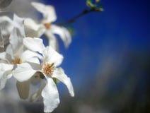 在绽放的白色木兰反对蓝天。 免版税图库摄影