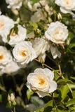 在绽放的白色玫瑰丛 免版税图库摄影