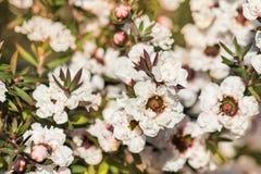 在绽放的白色manuka树花 免版税库存图片