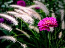 在绽放的百日菊属 免版税库存照片