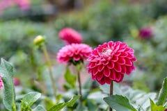 在绽放的红色大丽花在庭院里 免版税库存照片