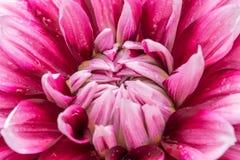 在绽放的红色大丽花在庭院里 免版税库存图片