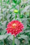 在绽放的红色大丽花在庭院里 图库摄影