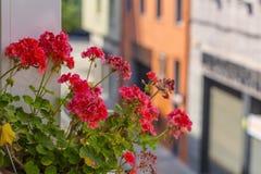 在绽放的红色大竺葵在都市场面 免版税库存照片