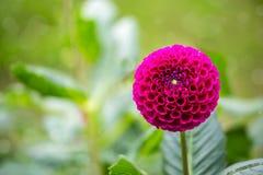 在绽放的红色球状大丽花在庭院里 免版税图库摄影